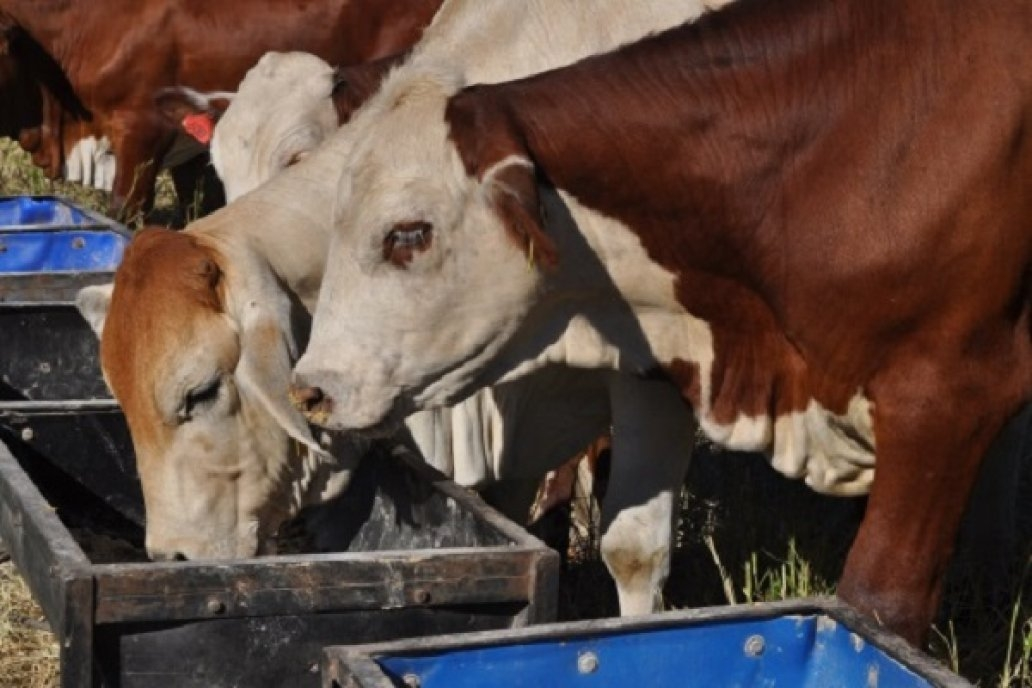 A partir del lunes se libera la exportación de vaca conserva y manufactura  a China